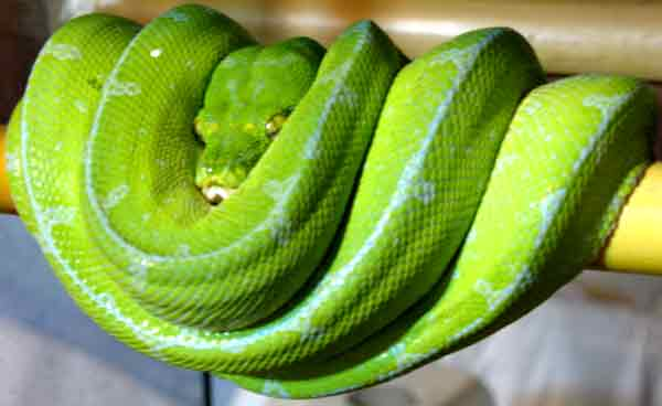 Morelia viridis biak Male-s17
