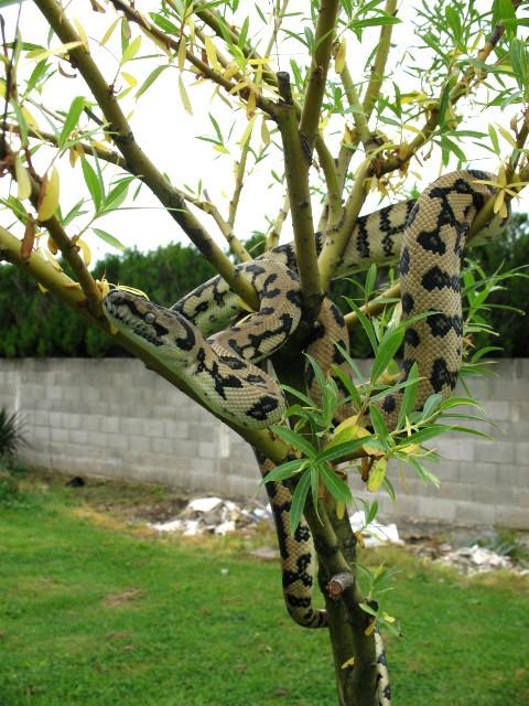Mes jaguar !! Photo_21