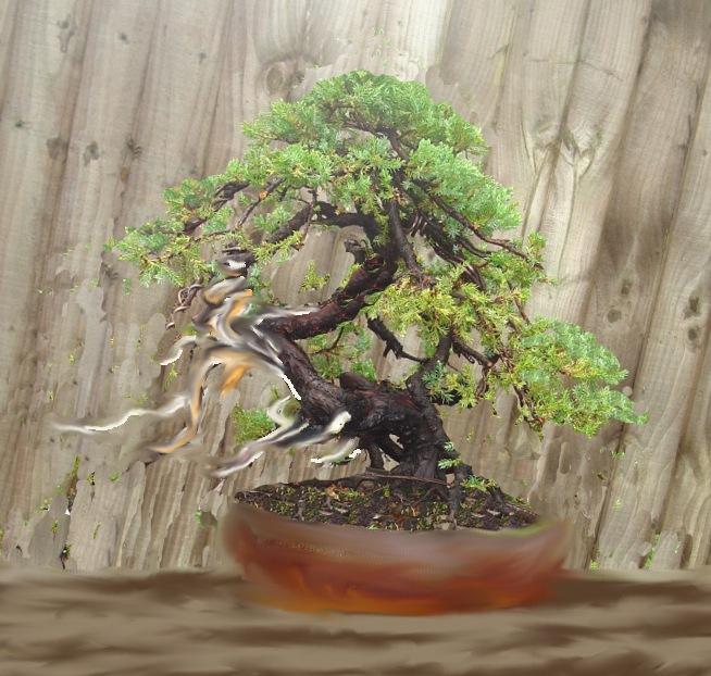 Juniperus Procumbens 'Nana' Dsc02910