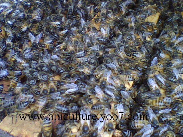 L'abeille des Déserts d'Algérie! Abiell10