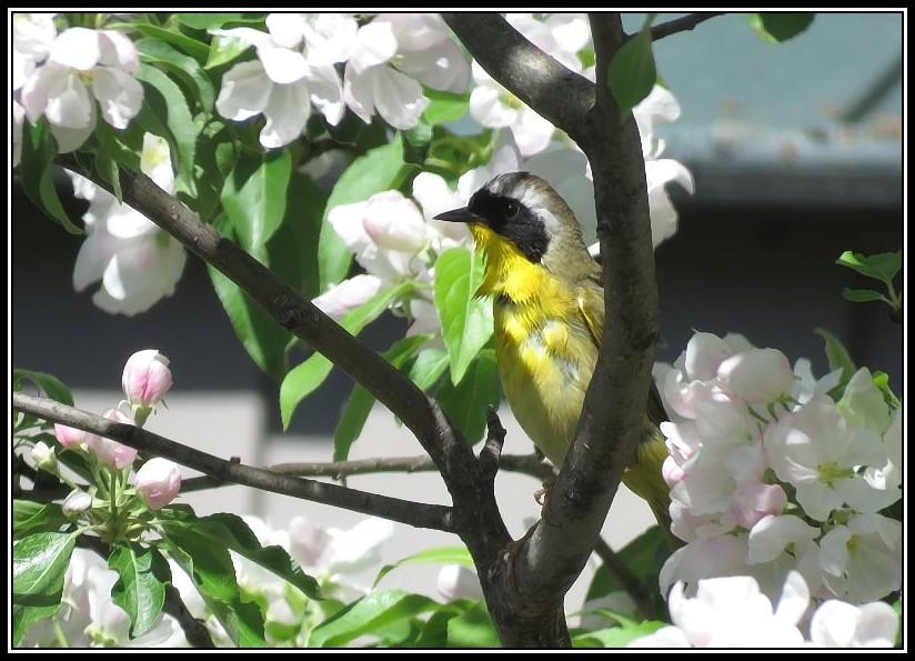 Les oiseaux aussi aiment les fleurs... 17-05-12
