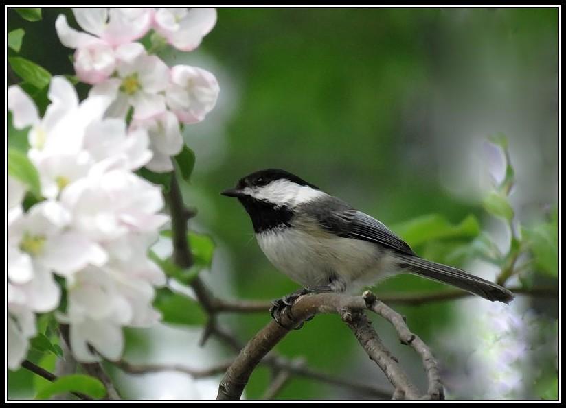 Les oiseaux aussi aiment les fleurs... 17-05-13