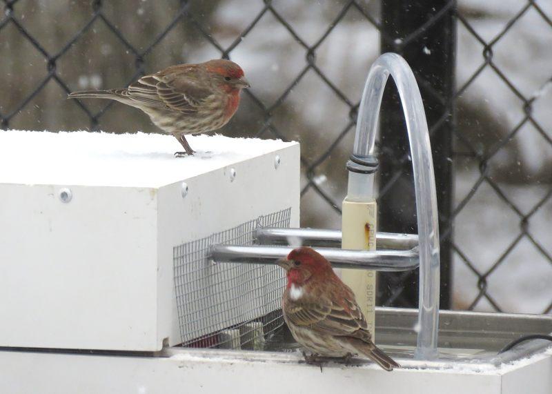 Bain d'oiseaux chauffant et ampoule brûlée 24-03-10
