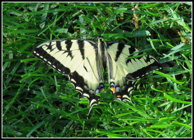 Papillon tigré du Canada 31-05-10