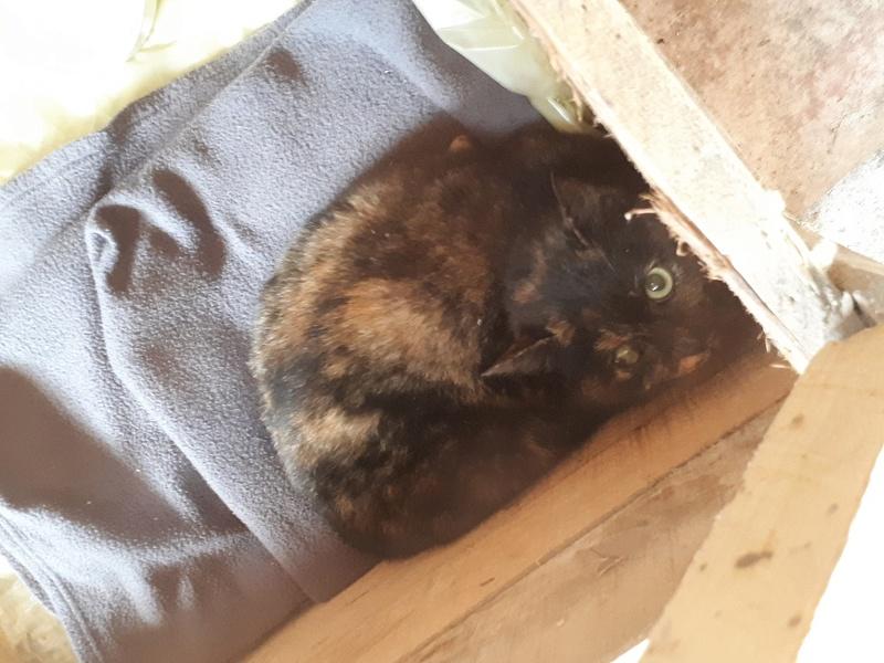 Poupoune chatte sauvage de 1 an avec fracture du bassin 20171210