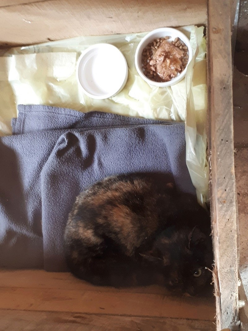 Poupoune chatte sauvage de 1 an avec fracture du bassin 20171211