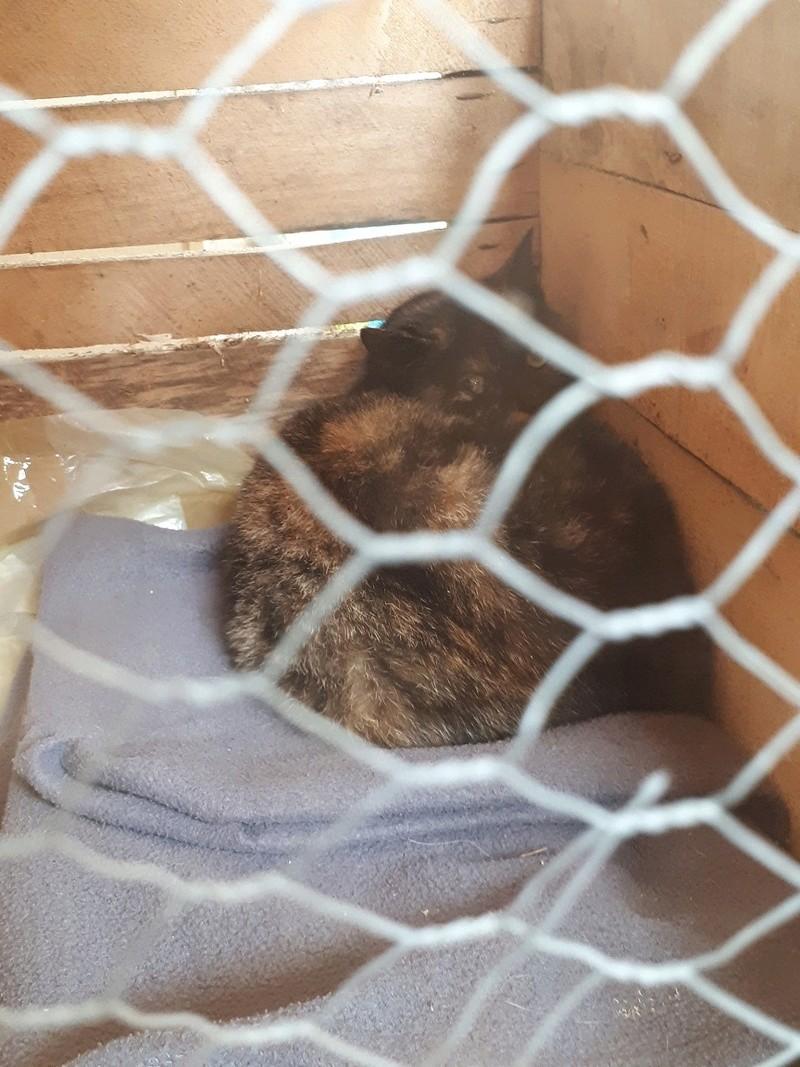 Poupoune chatte sauvage de 1 an avec fracture du bassin 20171212