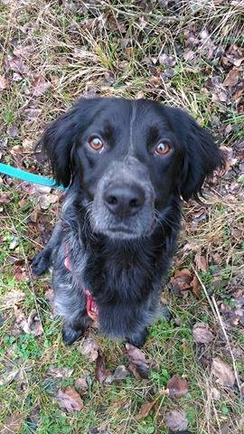 Adoption en refuge d'un croisé setter ? 27718810