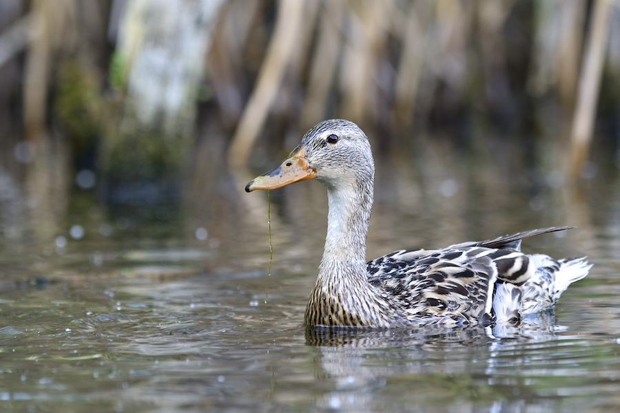Quelques oiseaux de la réserve naturelle de Remerschen  : 2017-010