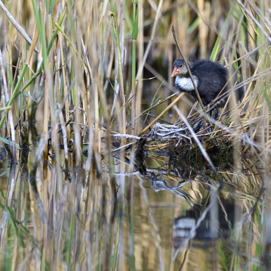 Quelques oiseaux de la réserve naturelle de Remerschen  : 2017-011
