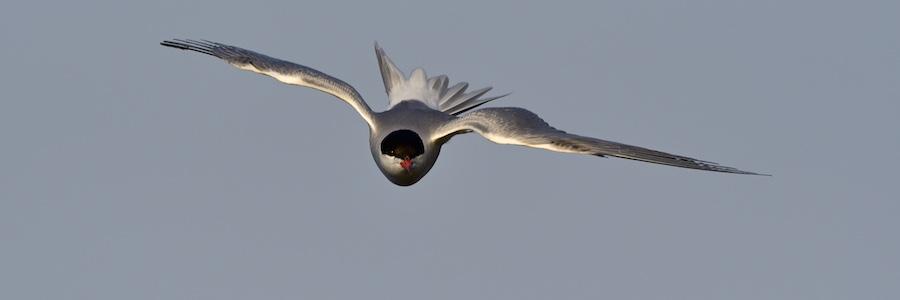 Quelques oiseaux de la réserve naturelle de Remerschen  : 2017-013