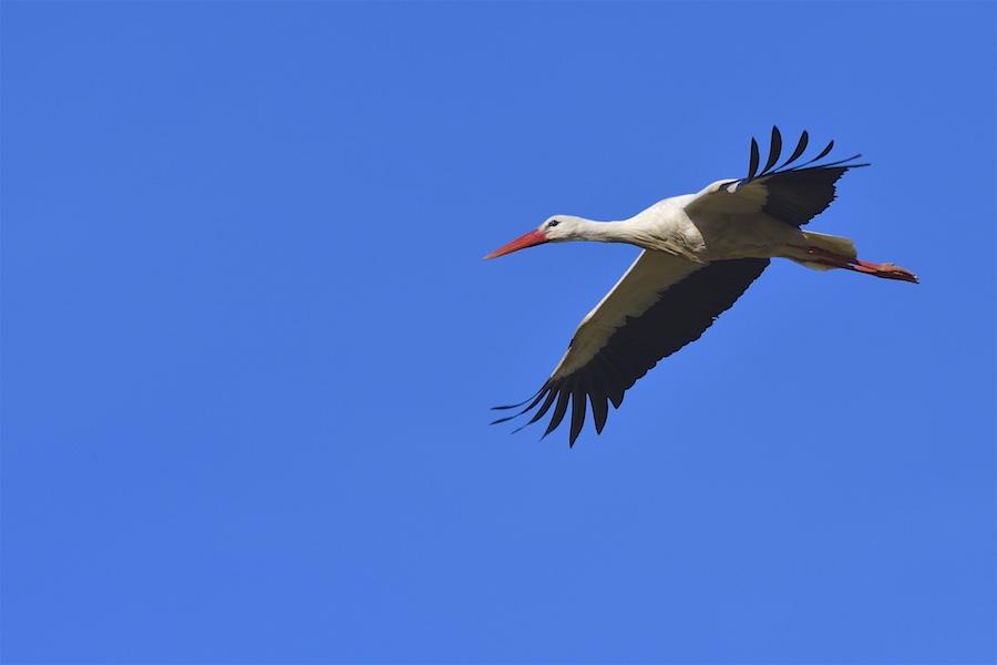 Quelques oiseaux de la réserve naturelle de Remerschen  : 2017-014
