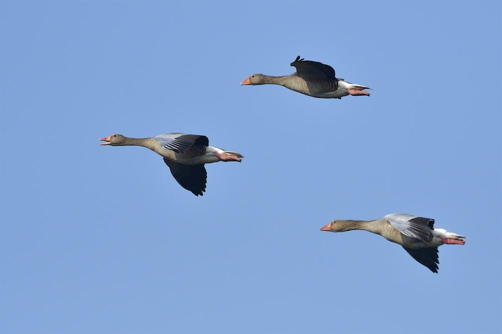 Quelques oiseaux de la réserve naturelle de Remerschen  : 2017-016