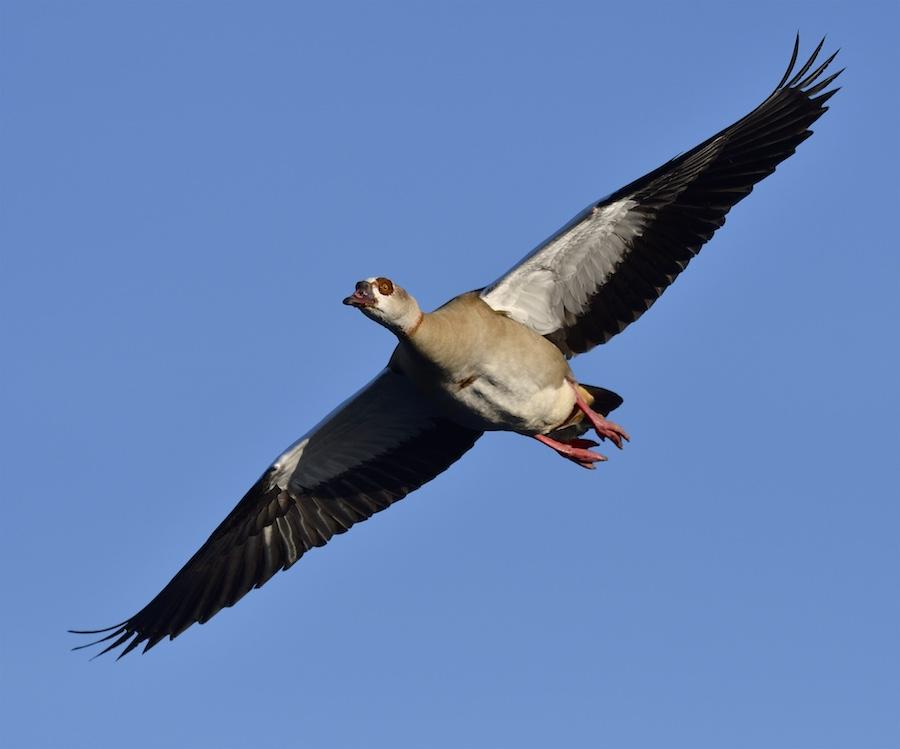 Quelques oiseaux de la réserve naturelle de Remerschen  : 2017-125