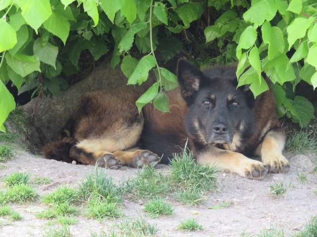 KURT mâle berger allemand 9 ans (Dysplasique) - Page 2 Img_2331