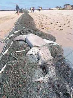 Les « filets fantômes » hantent les fonds marins Requin11