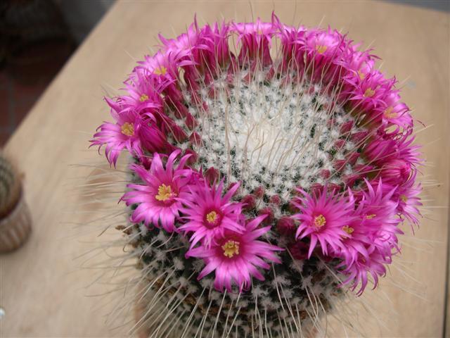 fleurs de cactus! - Page 2 Dscn4610