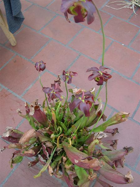 Sarracenia purpurea en fleurs Dscn4621