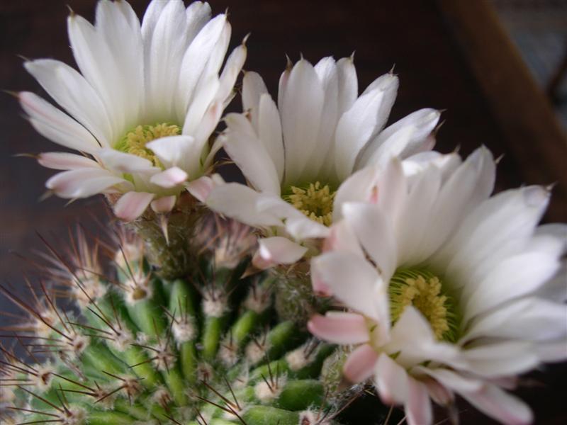 fleurs de cactus! - Page 2 Dscn4626
