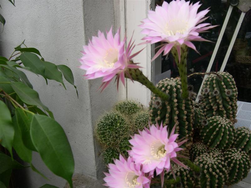 fleurs de cactus! - Page 2 Dscn4627