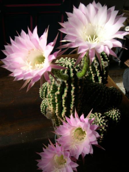 fleurs de cactus! - Page 2 Dscn4628