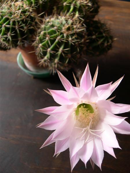 fleurs de cactus! - Page 2 Dscn4631