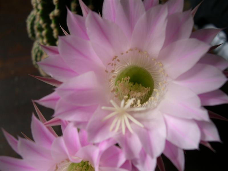 fleurs de cactus! - Page 2 Dscn4633