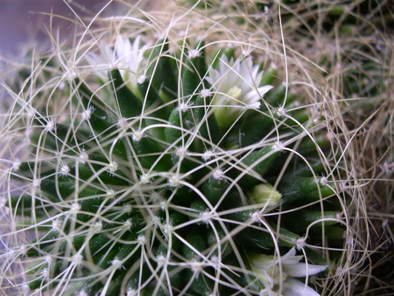 fleurs de cactus! - Page 2 Dscn4636