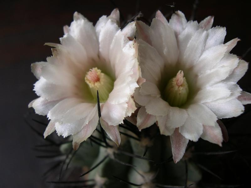 fleurs de cactus! - Page 2 Dscn4637