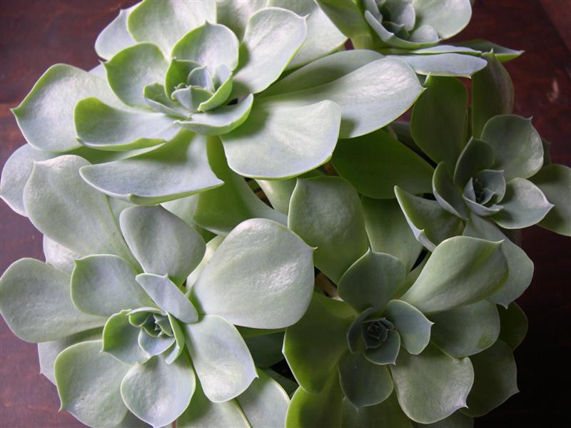 mes plantes grasses Dscn4643