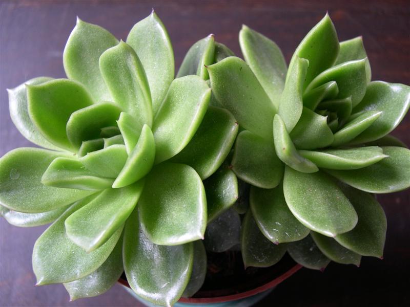 mes plantes grasses Dscn4645