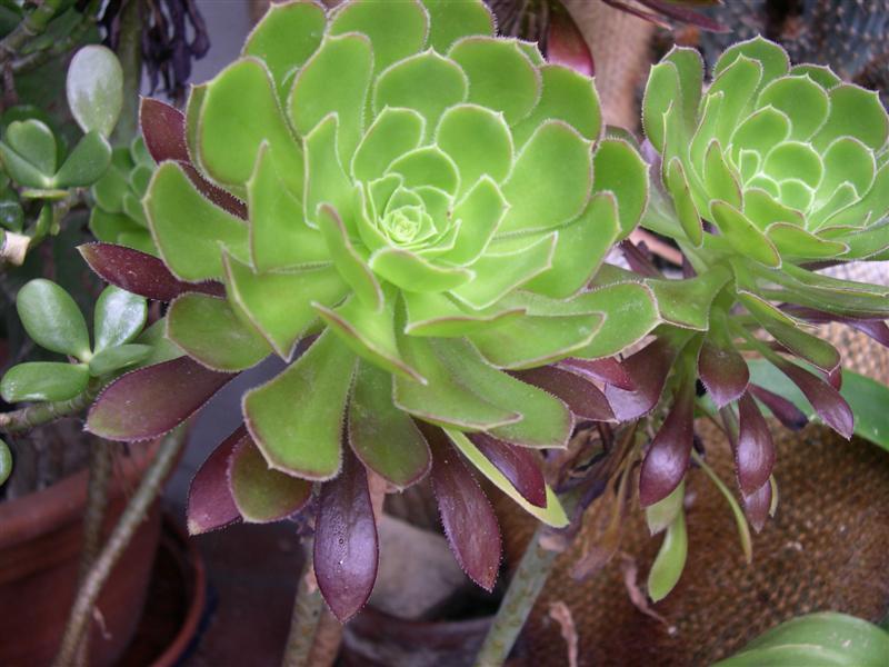 mes plantes grasses Dscn4650