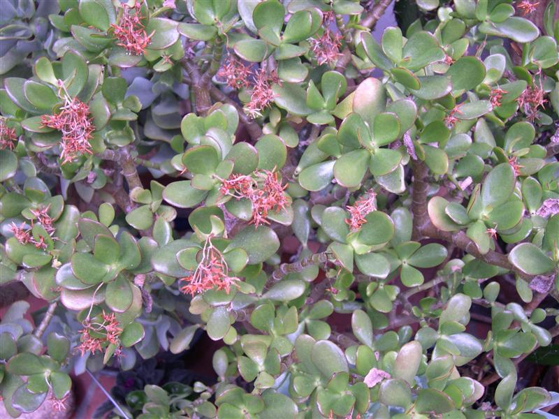 mes plantes grasses Dscn4651