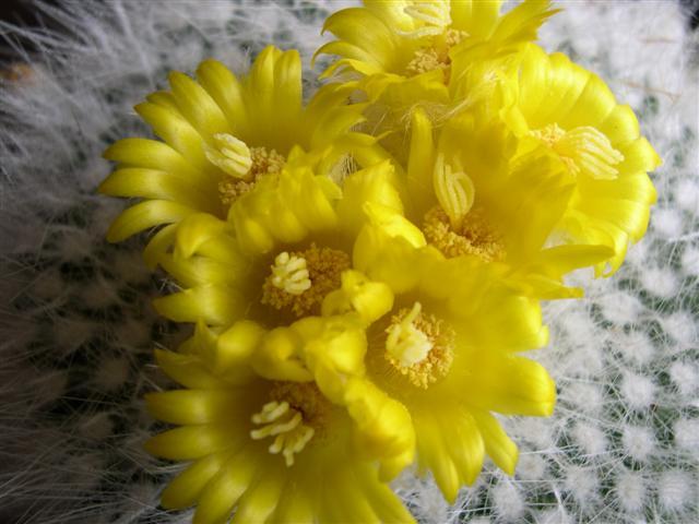 Parodia chrysacanthion Dscn5410
