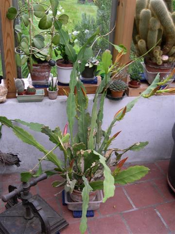 Epiphyllum oxypetalum Dscn5418