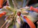Evolution de mon Rechsteineria leucotricha [maintenant Sinningia leuchotricha] - Page 2 Dscn5216