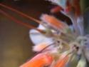 Evolution de mon Rechsteineria leucotricha [maintenant Sinningia leuchotricha] - Page 2 Dscn5217