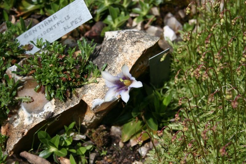 première floraison de gentianes 20090412