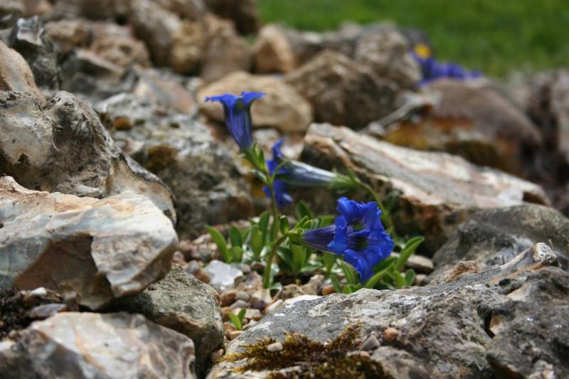 première floraison de gentianes 20090413