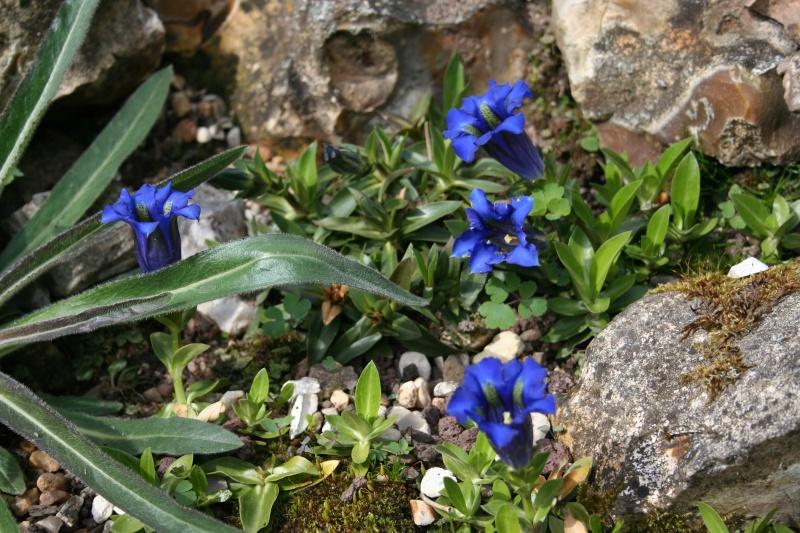 première floraison de gentianes 20090414