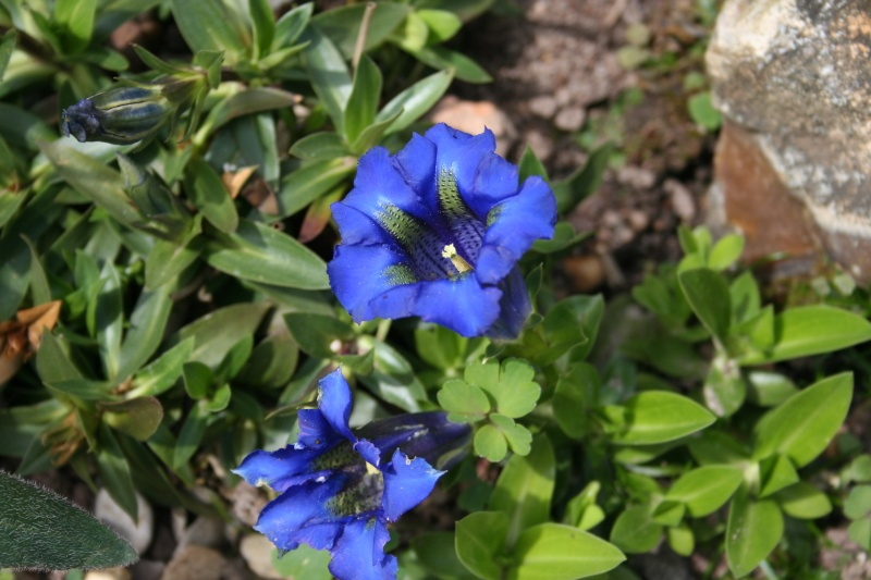 première floraison de gentianes 20090415