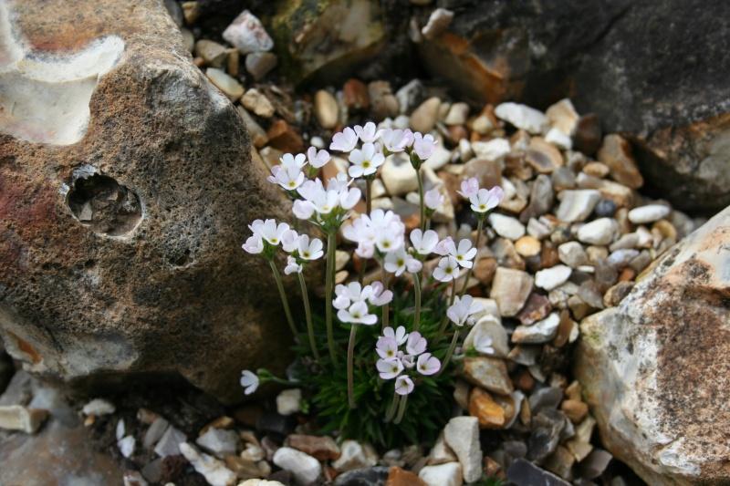 quelques androsaces en fleurs!! Img_4118