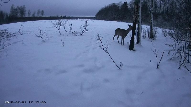 Roe deer cam in Viljandimaa Vlcsna47
