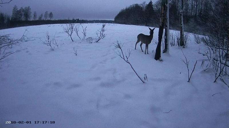 Roe deer cam in Viljandimaa Vlcsna48