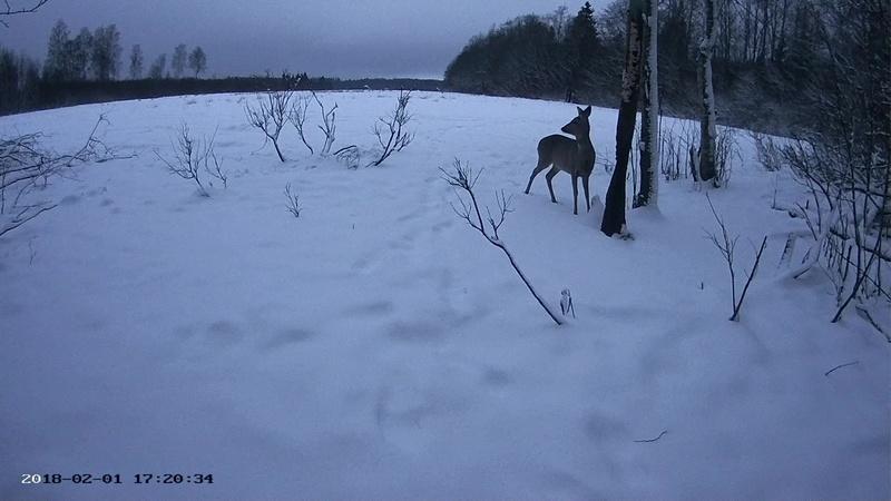 Roe deer cam in Viljandimaa Vlcsna49