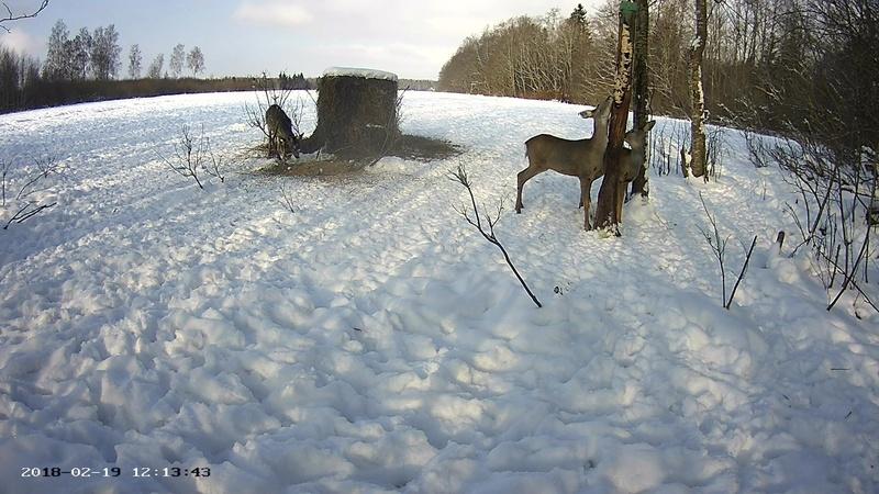 Roe deer cam in Viljandimaa Vlcsna51