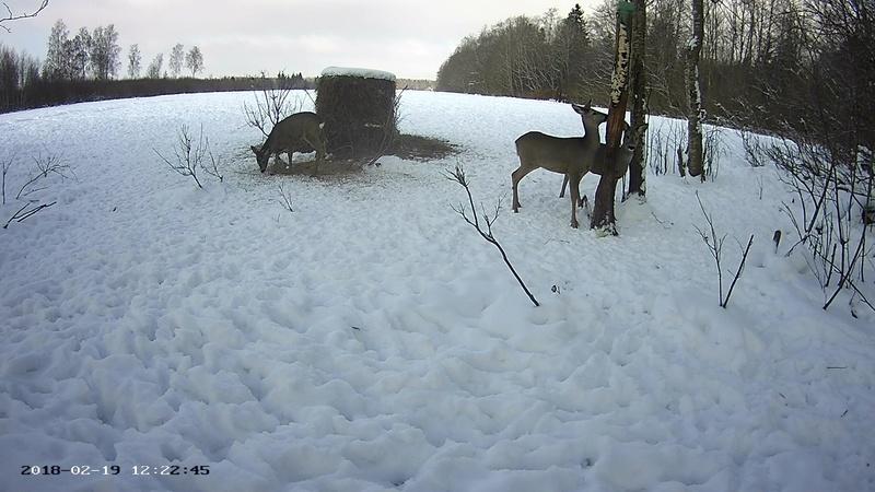 Roe deer cam in Viljandimaa Vlcsna52