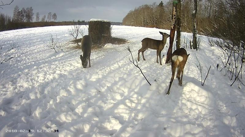 Roe deer cam in Viljandimaa Vlcsna55