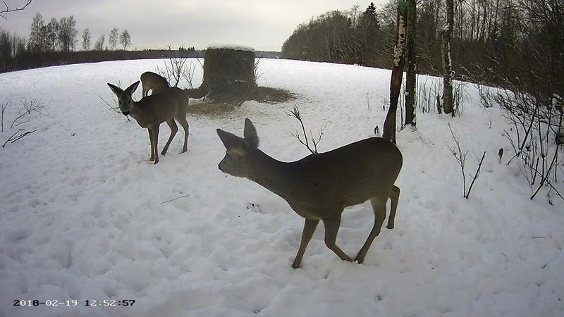 Roe deer cam in Viljandimaa Vlcsna58