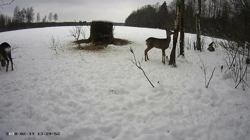 Roe deer cam in Viljandimaa Vlcsna59